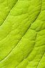 Grünes Blatt | Stock Foto