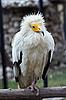 ID 3017670 | Schmutzgeier im Zoo | Foto mit hoher Auflösung | CLIPARTO
