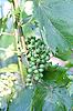 ID 3017851 | Grüne unreife Weintrauben | Foto mit hoher Auflösung | CLIPARTO