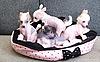 ID 3019647 | Chinesische Schopfhund Welpen | Foto mit hoher Auflösung | CLIPARTO