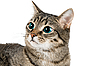 Katze mit grünen Augen | Stock Foto
