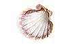 ID 3030767 | Морская ракушка | Фото большого размера | CLIPARTO