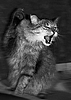 ID 3032012 | Атака сибирской кошки | Фото большого размера | CLIPARTO
