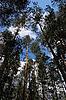 ID 3032029 | Las sosnowy | Foto stockowe wysokiej rozdzielczości | KLIPARTO