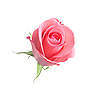 ID 3019816 | Schöne rosa Rose auf Weiß | Foto mit hoher Auflösung | CLIPARTO