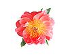 Rosa Pfingstrose-Blume | Stock Foto