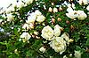 Rose mit gefüllten Blüten | Stock Photo