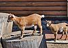 ID 3025028 | Brown goatlings | Foto stockowe wysokiej rozdzielczości | KLIPARTO