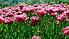 ID 3025914 | Wiosenne kwiaty. Tulipany | Foto stockowe wysokiej rozdzielczości | KLIPARTO