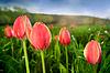 Zamknij się piękne tulipany w dziedzinie | Stock Foto
