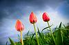 Piękne tulipany rosnące w burzliwe niebo | Stock Foto