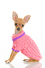 Chihuahua-Hund in rosa Pullover | Stock Foto