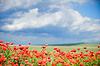 Piękne czerwone pole maku | Stock Foto