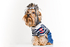 Funny Yorkshire terrier w sweter | Stock Foto