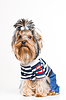 Nettes Yorkshire-Terrier in Pullover | Stock Foto