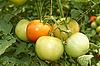 ID 3038809 | Tomaten | Foto mit hoher Auflösung | CLIPARTO