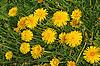 Blühende gelbe Löwenzähner | Stock Photo