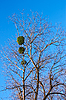 ID 3176462 | Mistletoe plant on birch tree | 높은 해상도 사진 | CLIPARTO