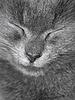 Gray gato británico está durmiendo | Foto de stock