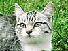 ID 3078705 | Graue Katze | Foto mit hoher Auflösung | CLIPARTO