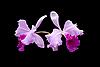 ID 3039834 | Фиолетовая орхидея | Фото большого размера | CLIPARTO