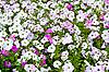 Feld von bunten Petunien | Stock Foto