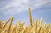 Złoty pszenicy | Stock Foto