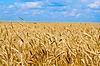 Pole pszenicy żółty | Stock Foto