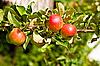 Czerwone jabłka na gałęzi drzewa firmy apple | Stock Foto