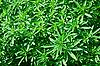 ID 3040097 | Keime von Cannabis | Foto mit hoher Auflösung | CLIPARTO