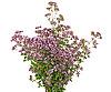 ID 3040304 | Лечебное растение Тимьян | Фото большого размера | CLIPARTO