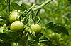 青西红柿 | 免版税照片