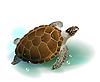 Schildkröte schwimmt im Meer