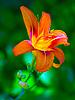 ID 3049325 | Orangefarbene Lilie | Foto mit hoher Auflösung | CLIPARTO