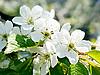 Цветущая вишня | Фото