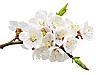 Aprikosenblumen | Stock Foto