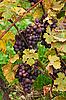 ID 3065916 | Blaue Traube wächst mit gelben Blättern | Foto mit hoher Auflösung | CLIPARTO