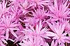 Różowe krokusy | Stock Foto