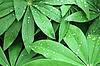 羽扇豆的叶子背景 | 免版税照片
