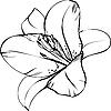 Blume von Lilie