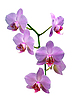Orchidee | Stock Foto