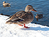 Dzikie kaczki na śniegu | Stock Foto