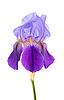 Tęczówki purpurowy | Stock Foto