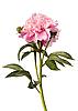 Różowa piwonia | Stock Foto