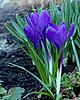 Piękne krokusy kwiaty | Stock Foto