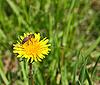 蜜蜂黄色的蒲公英花 | 免版税照片