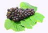 Schwarze Trauben mit grünen Blättern | Stock Foto