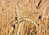 麦田 | 免版税照片