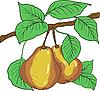 Vektor Cliparts: Zwei reife Birnen mit Blättern auf einem Zweig