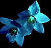 Blaue Blumen | Stock Photo